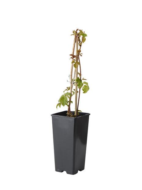 Trädgårdshallon 'Glen Coe', Ø17 cm, Lila