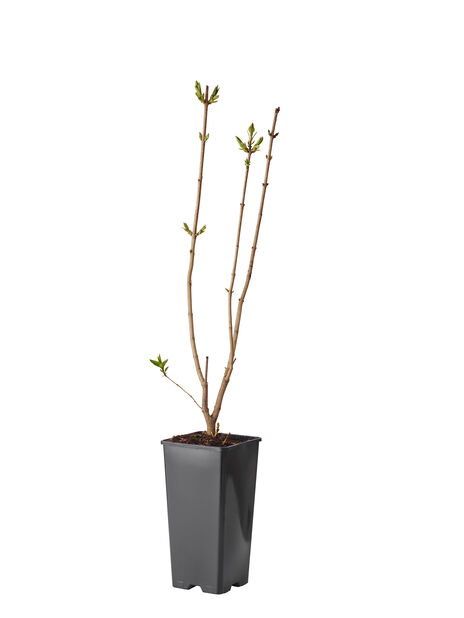 Syren, Höjd 40 cm, Rosa