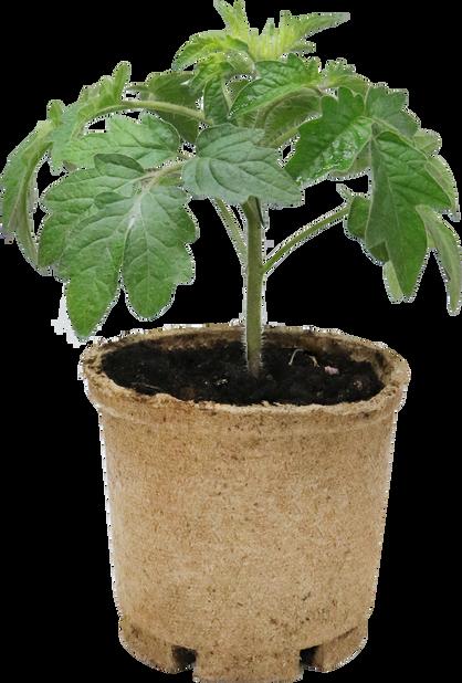 Tomatplanta 'Berry Garden', Ø10.5 cm, Röd