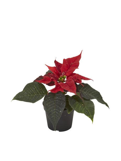 Julstjärna mini, Höjd 8 cm, Röd