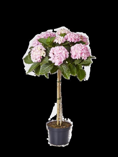 Trädgårdshortensia på stam rosa