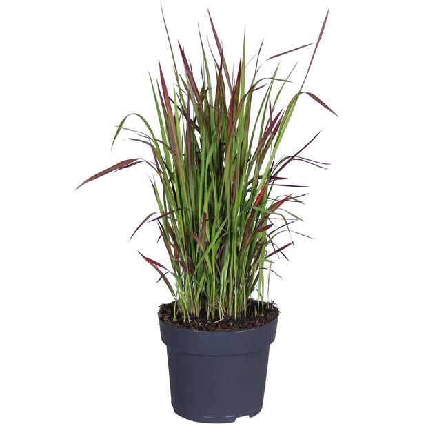 Japanskt blodgräs, Ø14 cm, Flerfärgad