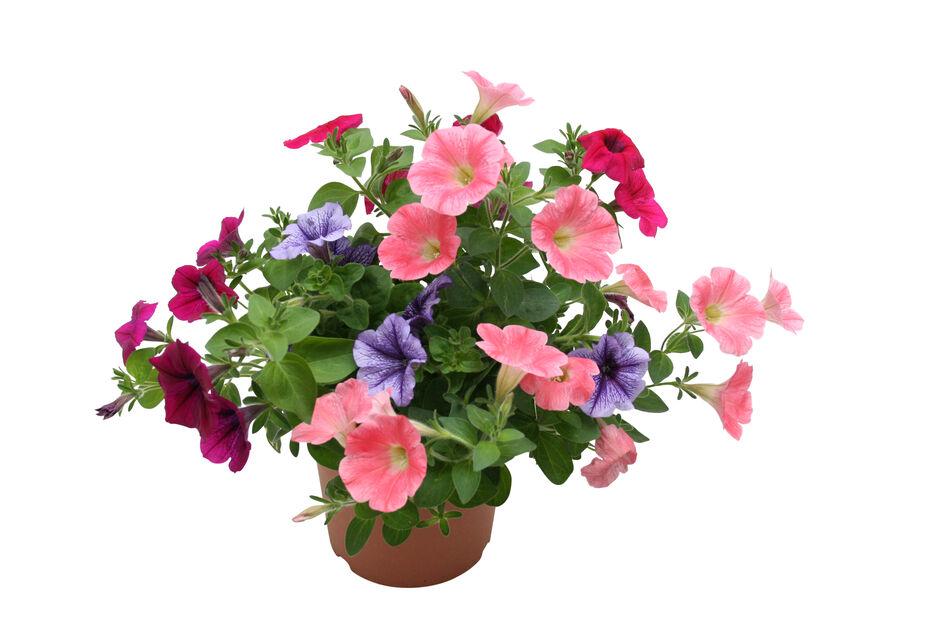 Petunia, Ø12 cm, Flerfärgad