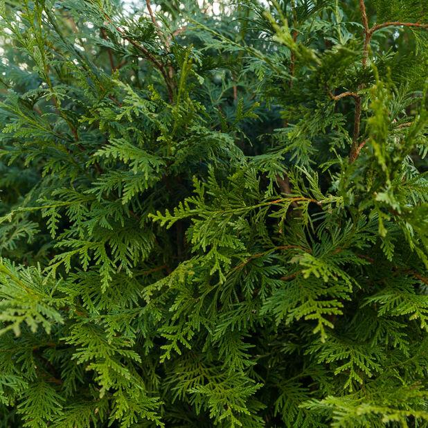Tuja 'Brabant', Höjd 140-160 cm, Grön