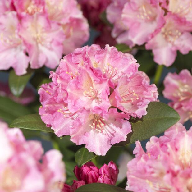 Yakushimanum-rododendron 'Doc', Ø21 cm, Rosa