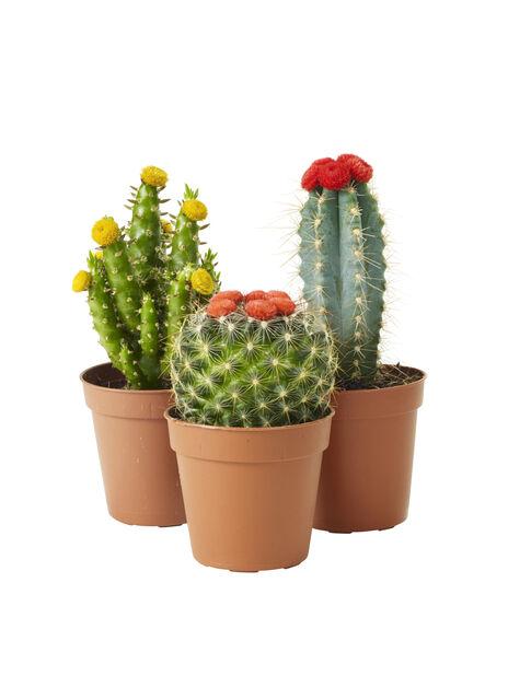 Kaktus mix med dekoration 6 cm
