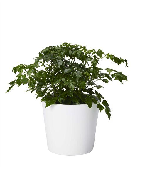 Rumsask, Höjd 25 cm, Grön