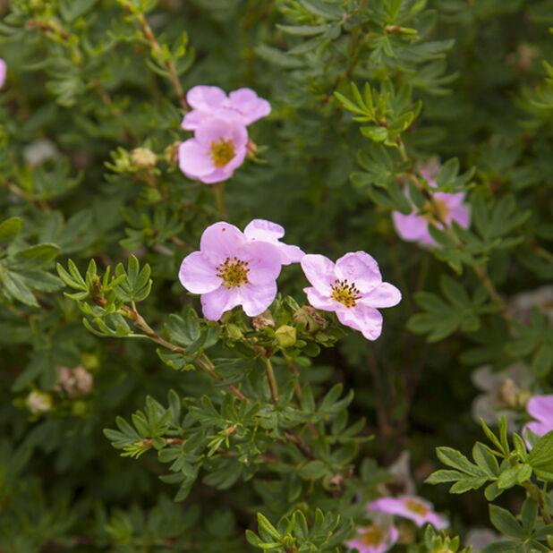 Trädgårdstok 'Pink Queen', Höjd 30 cm, Rosa