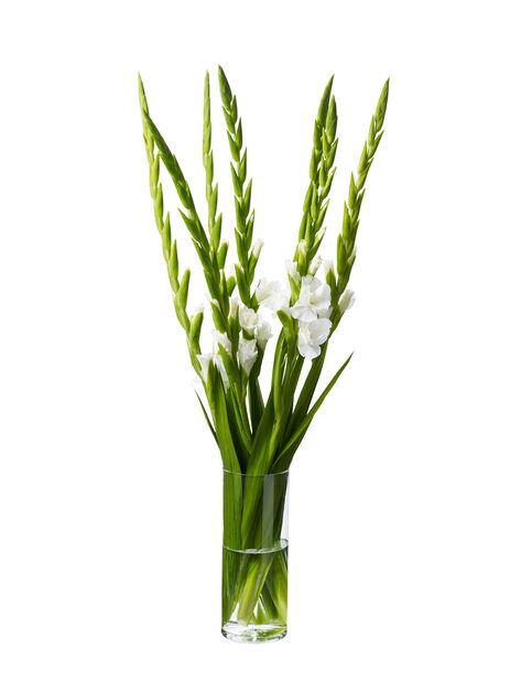 Gladiol 7-pack, Höjd 100 cm, Flera färger