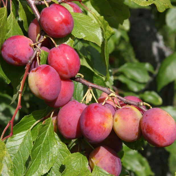 Plommon 'Victoria', Höjd 150 cm, Röd