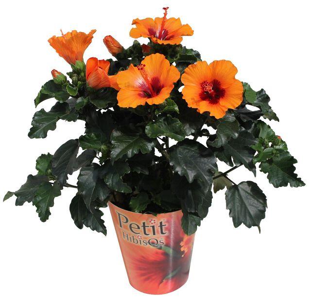 Hibiskus 'Petit Orange', Höjd 30 cm, Orange