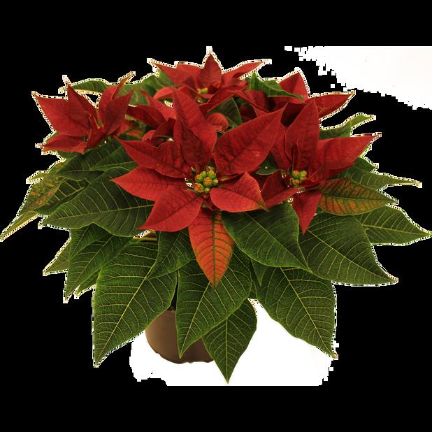Julstjärna flergrenad 'Sweet Burgundy' 12 cm