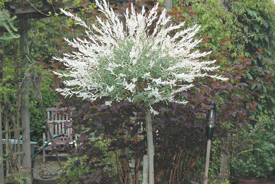 Eukalyptusvide 'Hakuro-nishiki' på stam, Höjd 100 cm, Grön