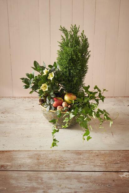 Ädelcypress 'Ellwoodii' , Höjd 20 cm, Blå