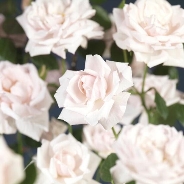 Klätterros 'New Dawn', Höjd 100 cm, Rosa