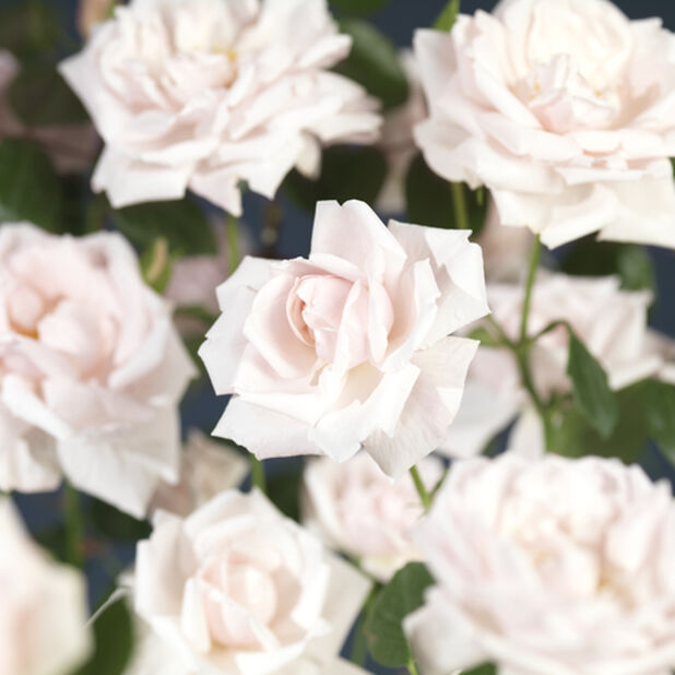 Klätterros 'New Dawn', Ø19 cm, Rosa
