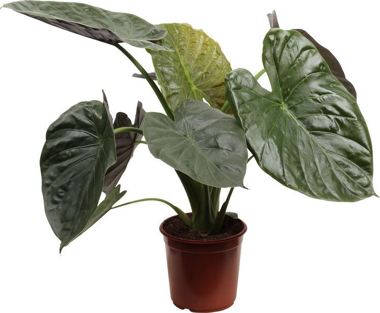 Alocasia 'Wentii', Höjd 90 cm, Grön