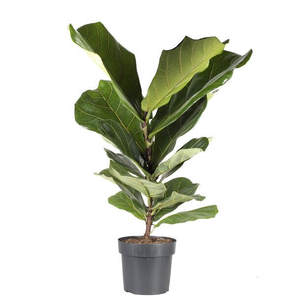 Fiolfikus, Höjd 75 cm, Grön