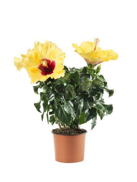 Hibiskus, Höjd 25 cm, Gul