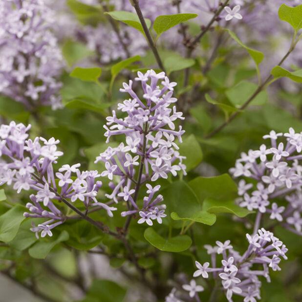 Dvärgsyren 'Flowerfesta purple', Höjd 50 cm, Lila
