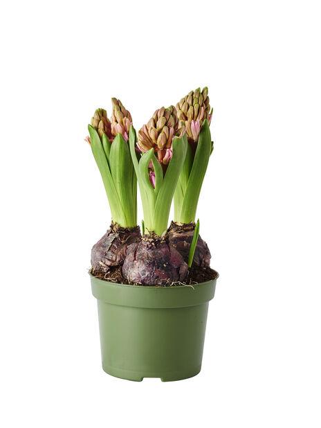 Hyacint, Ø12 cm, Flera färger