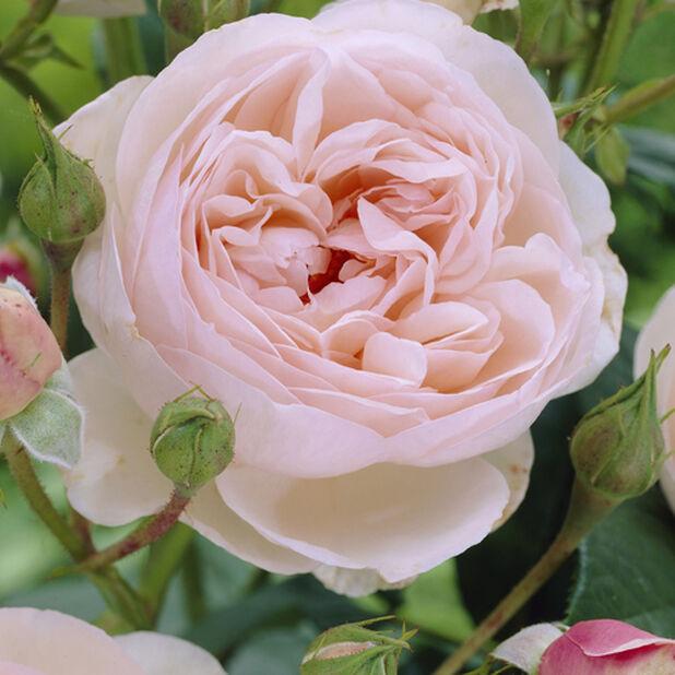 Storblommig ros 'Eden Rose', Ø23 cm, Rosa