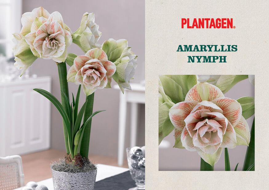 Amaryllis 'Nymph', Rosa