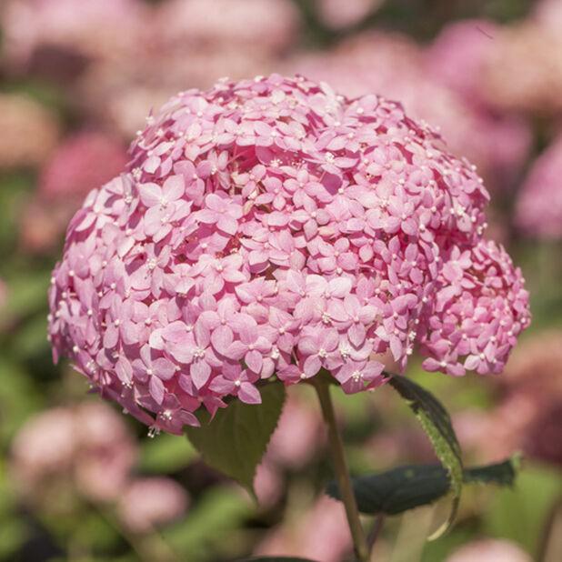 Vidjehortensia 'Pink Annabelle' , Höjd 40 cm, Rosa