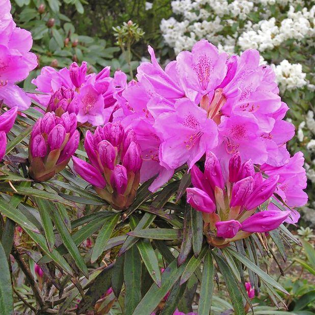 Rhododendron 'Graziella', Ø23 cm, Rosa
