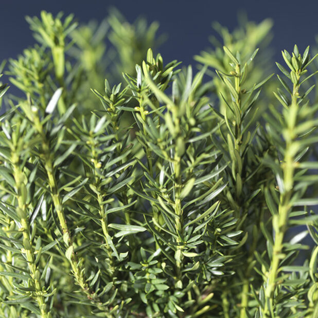 Hybrididegran 'Hillii', Höjd 25-30 cm, Grön