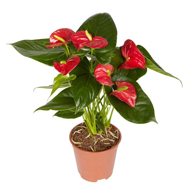 Rosenkalla, Höjd 60 cm, Röd