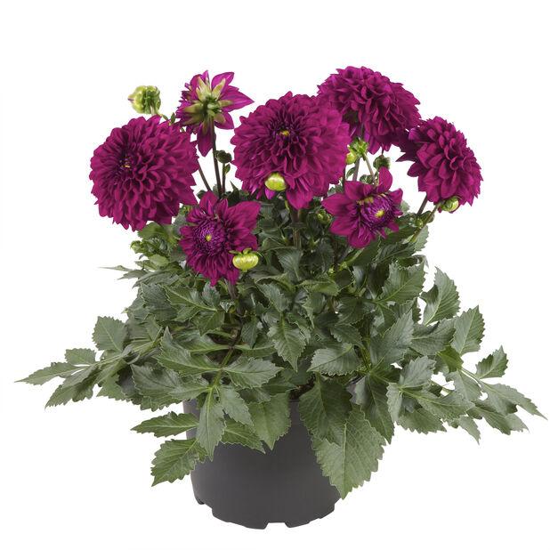 Dahlia lila
