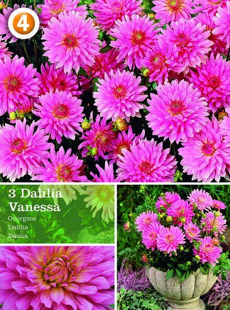 Dahlia 'Vanessa', dekorativdahlia, Rosa