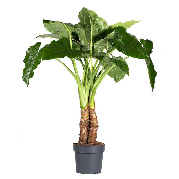 Alocasia 'Marcrophyllus', Höjd 100 cm, Grön