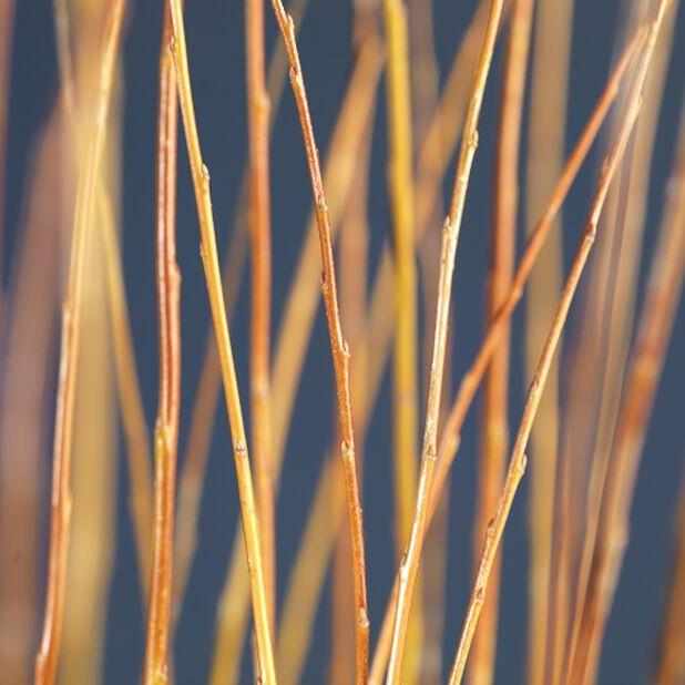 Flätad vide, medium, Höjd 60-80 cm, Grön