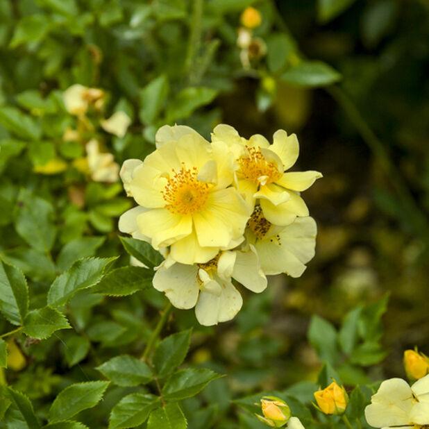 Klasblommig ros , Ø19 cm, Gul