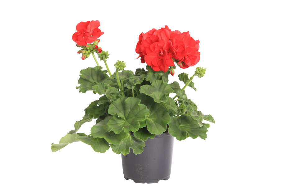 Pelargonium Calliope 'Red' 12 cm