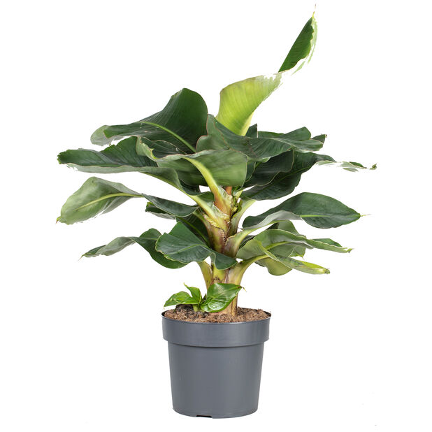 Bananplanta 'Oriental Dwarf', Höjd 80 cm, Grön