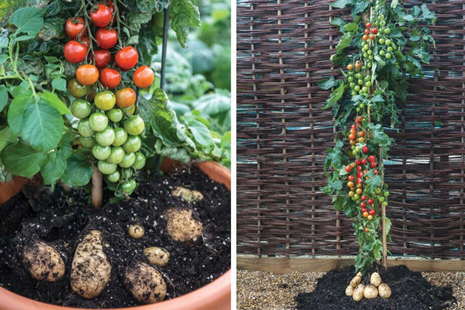 Tomat- & potatisplanta
