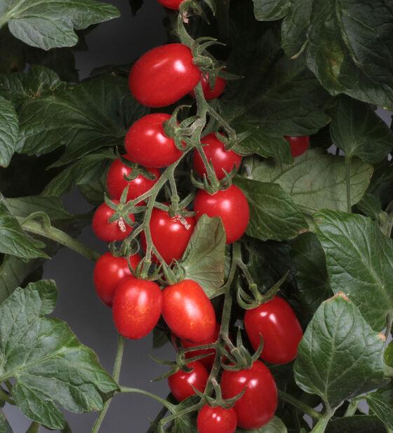 Plommontomat 'Luciebell', Ø12 cm, Röd