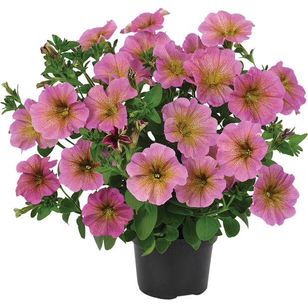 Mellanpetunia 'Beautical', Ø12 cm, Flera färger