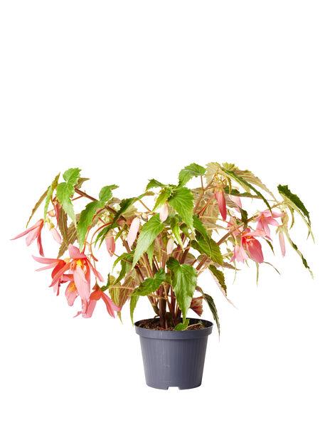 Boliviabegonia, Ø12 cm, Flera färger