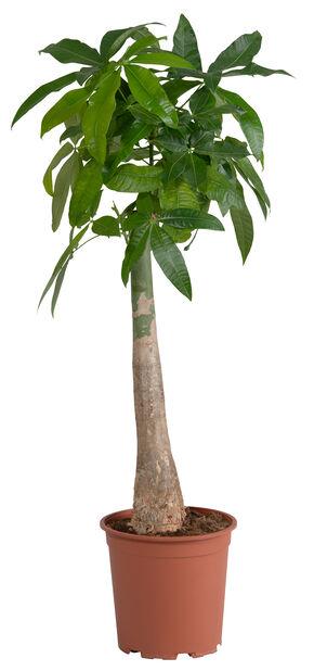 Strandkastanj, Höjd 100 cm, Grön