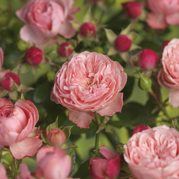 Terassros 4L Rosa