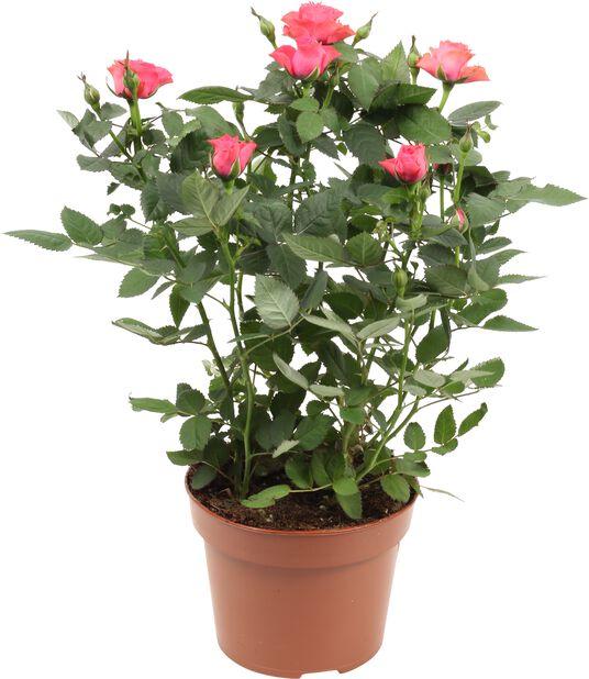 Krukros, Höjd 30 cm, Rosa