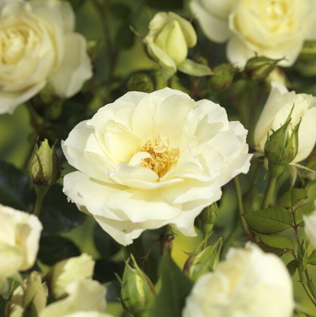 Rosor på stam 60 cm