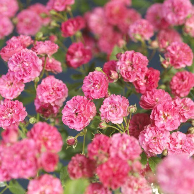 Lovely Fairy - Marktäckande ros