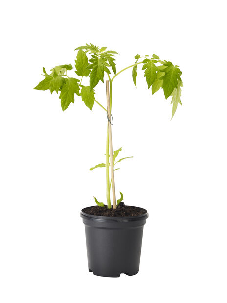 Tomat 'Gemini', Ø10.5 cm, Röd