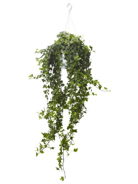 Murgröna stor i ampel