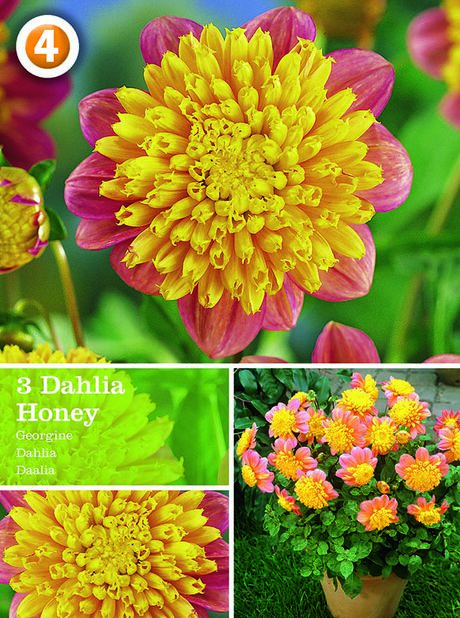 Dahlia 'Honey', Röd